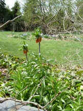 fritillaria imperialis (smells like skunk but pretty impressive looking)
