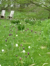 My dream: a grassy lawn of fritillaria (and leucojeum)