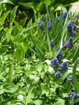 Loved this combination of Muscari and Convallaria majalis 'Striata' (plus some aquilegia)